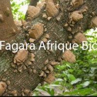 Fagara Plante Médicinale Spirituelle et Alimentaire.
