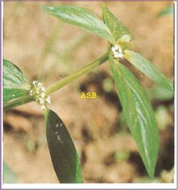 Cystite Plante Traitement Naturel Pour détruire Escherichia coli. Remède avec des plantes Médicinales à efficacité prouvée. Bon Remède Bio